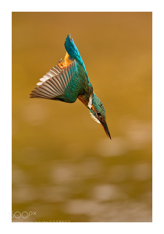 Photograph The perfect dive by Jules Cox on 500px