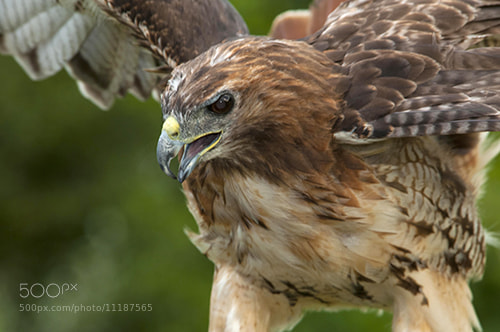 Photograph Red Tailed Hawk by Kelly Walkotten on 500px