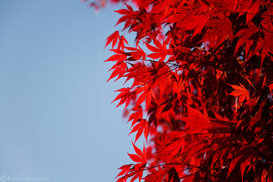 Maple contrasts