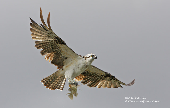 Photograph Osprey and catch  by Alfred Forns on 500px