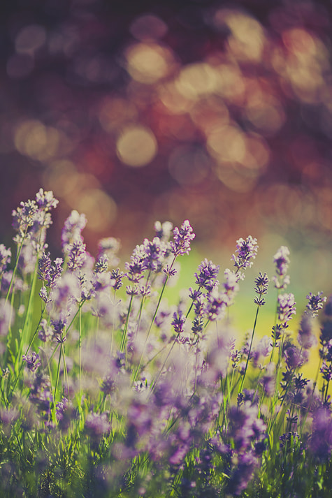 Photograph Lavender [Bokeh] by Mahoney Photography [Ryan Mahoney] on 500px