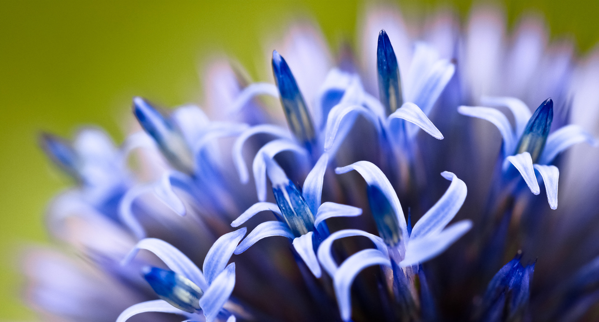 Photograph Blue flower by Christian Kraus on 500px