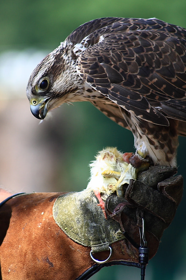 Photograph Falcon by Christopher Schneider on 500px