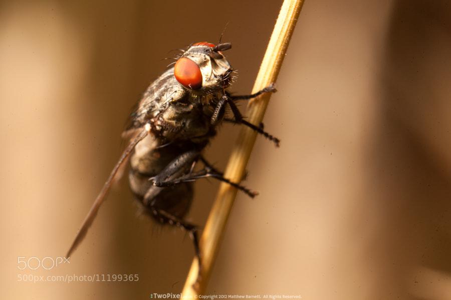 Photograph Flesh fly by Matthew Barnett on 500px