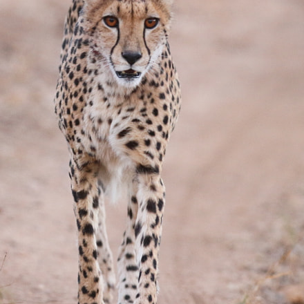 Cheetah walking down the, Canon EOS 7D, Canon EF 300mm f/2.8L IS