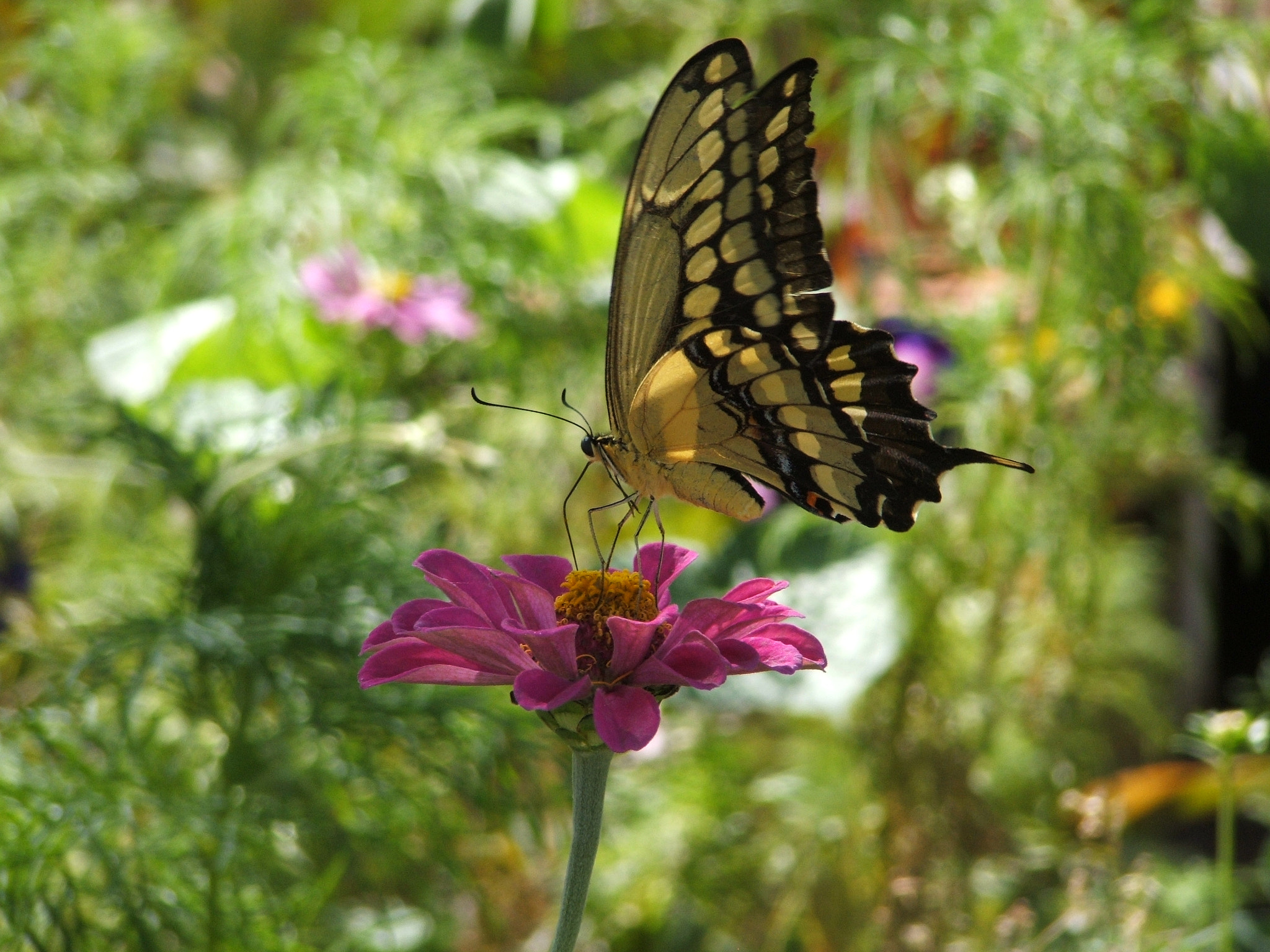 Photograph Giant Swallowtail butterfly by Megan R. Hoover on 500px