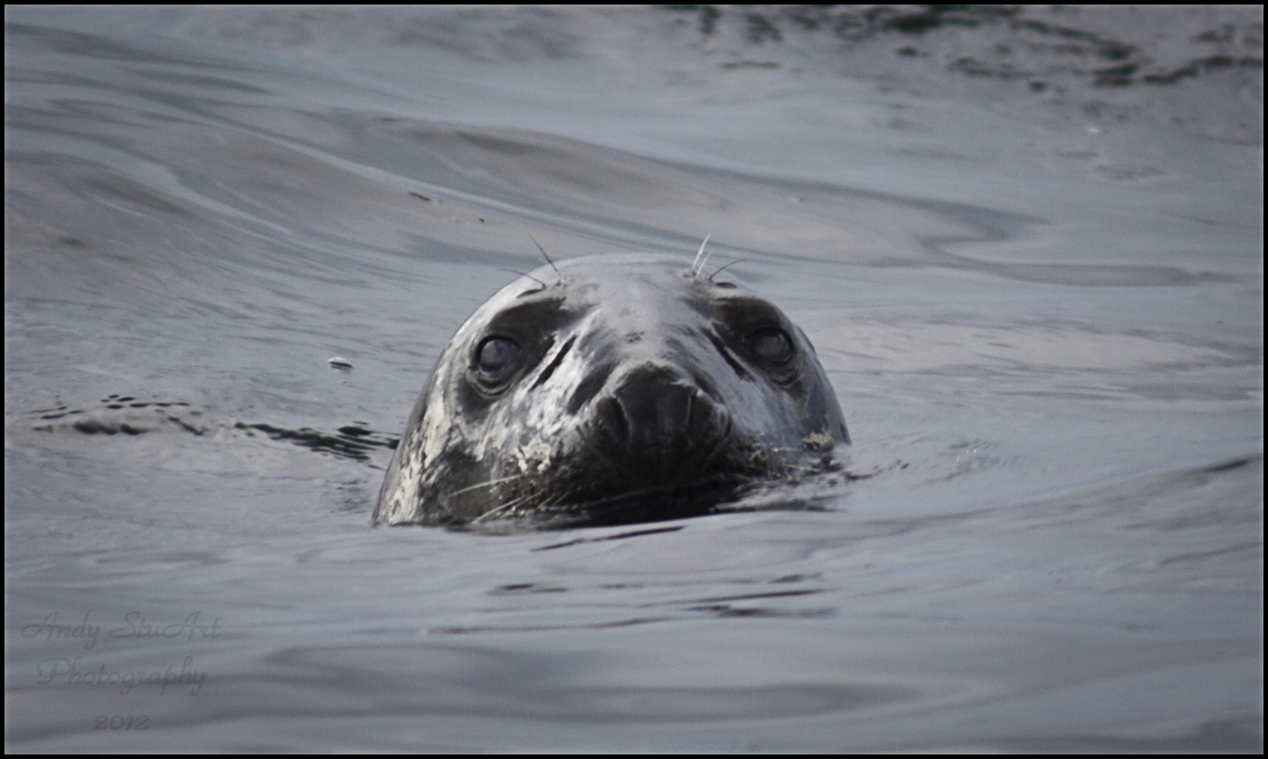 Photograph Grey Seal Portrait by Andy Stuart on 500px