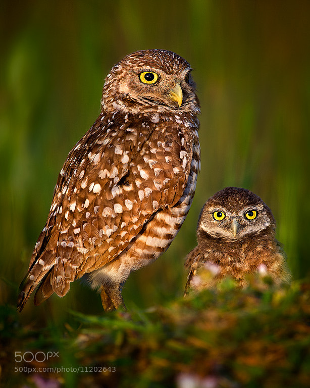Photograph Burrowing Owls On Watch by Steve Perry on 500px