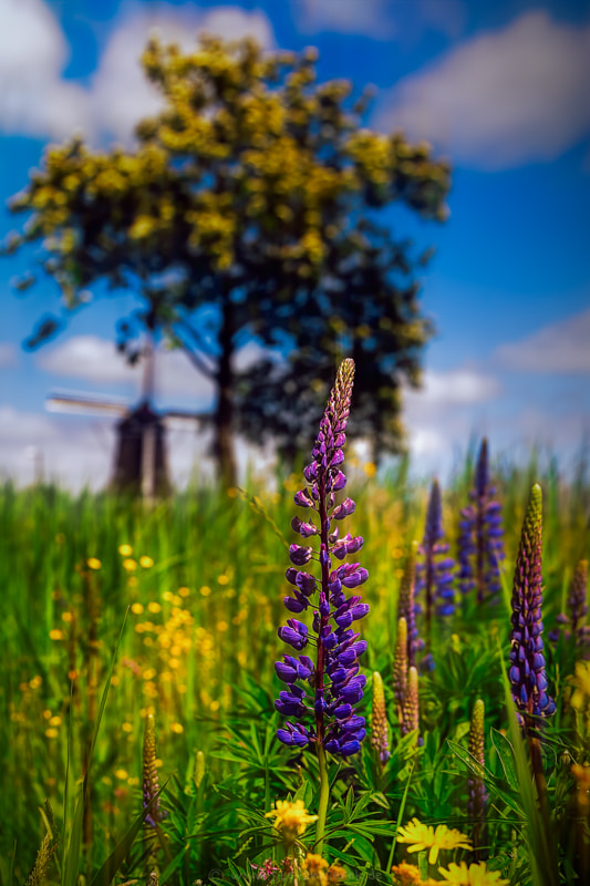 Lupine under a windmill