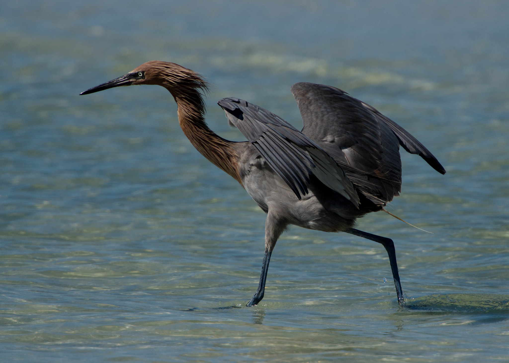 Photograph Reddish Egret Fishing by Ray Campbell on 500px