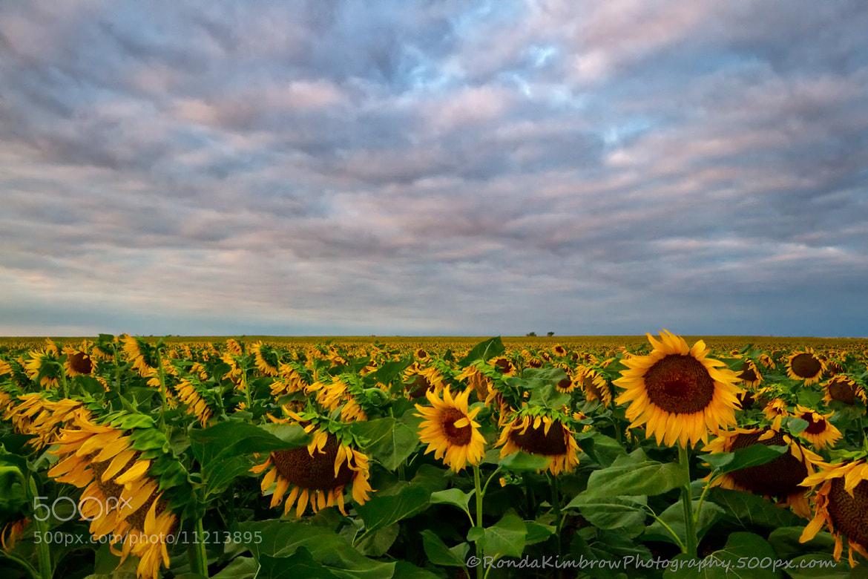 Photograph A Sunflower Sunrise by Ronda Kimbrow on 500px