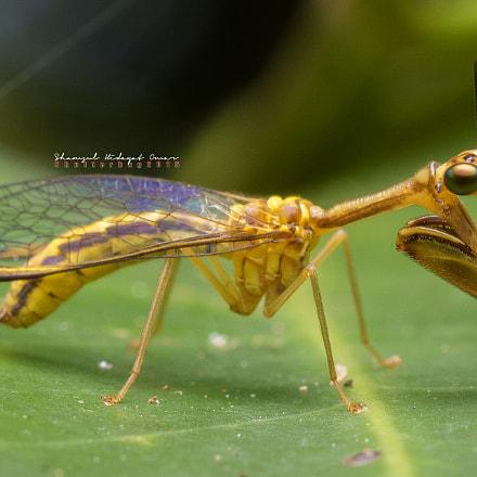 Mantispidae ( Selangor )