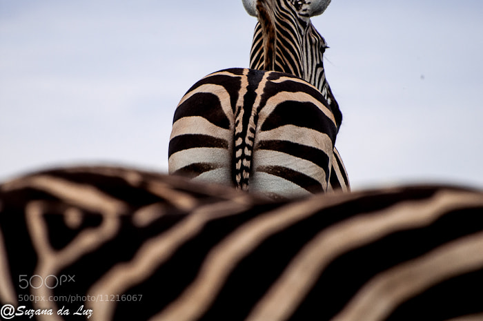 Photograph Deu zebra by Suzana Da Luz on 500px