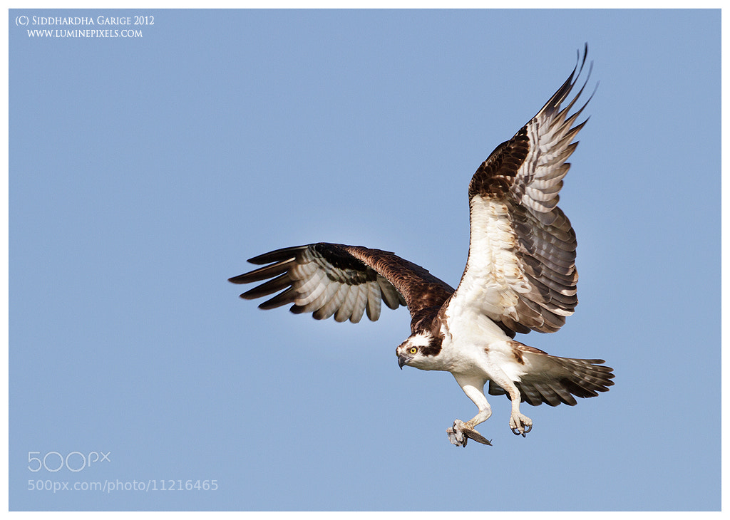Photograph Osprey landing by Siddhardha Garige on 500px