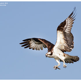 Osprey landing by Siddhardha Garige (luminepixels)) on 500px.com