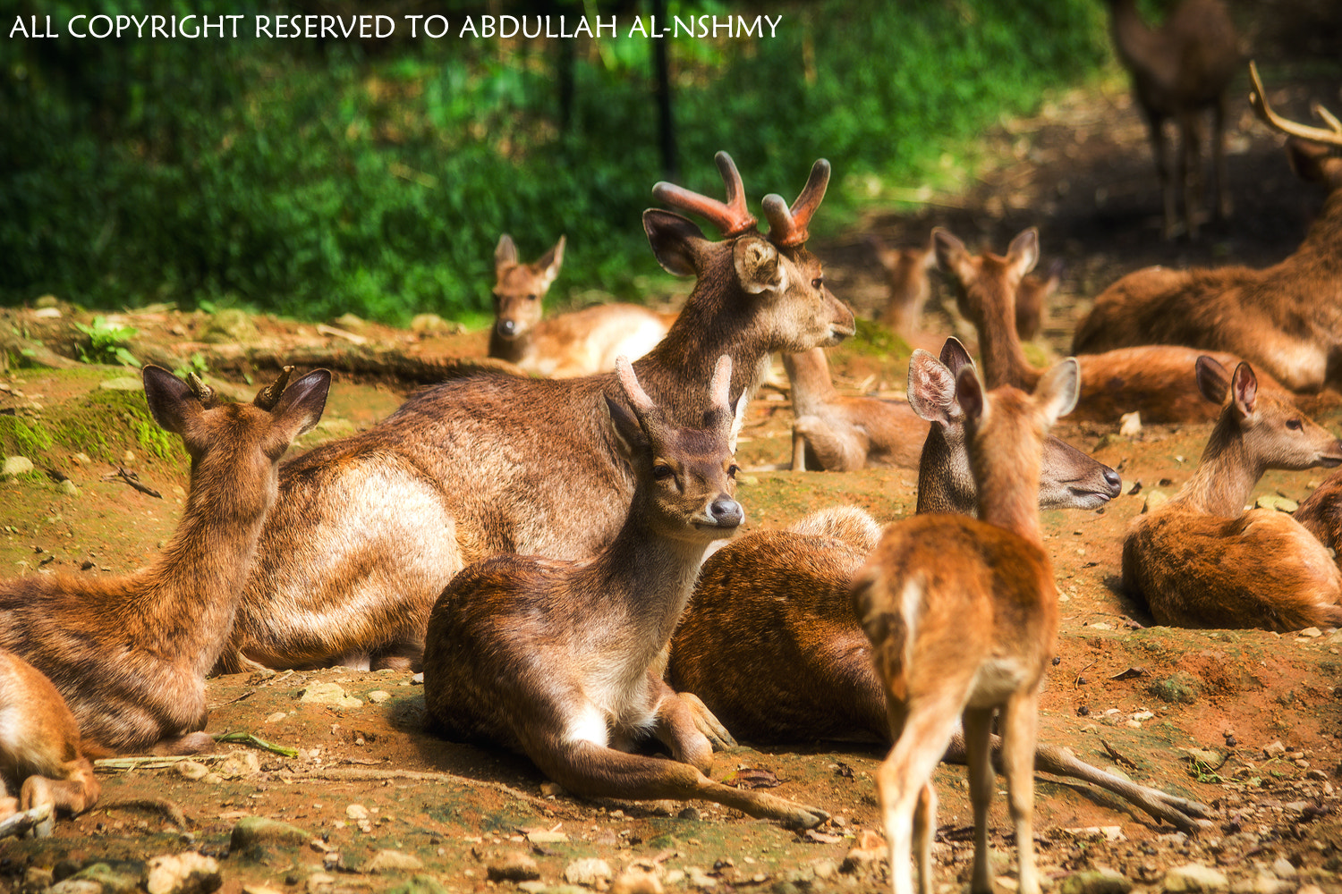 Photograph Deer by ABDULLAH ALNSHMY  on 500px