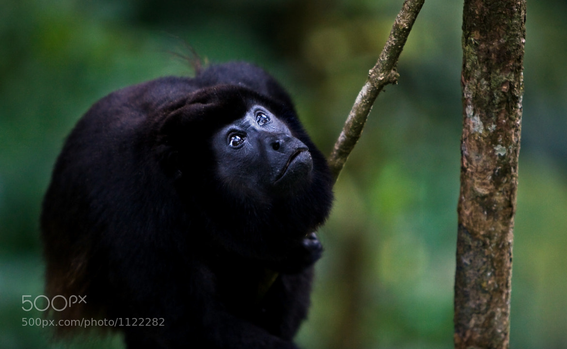 Photograph Howler Monkey by Janik Lipke on 500px