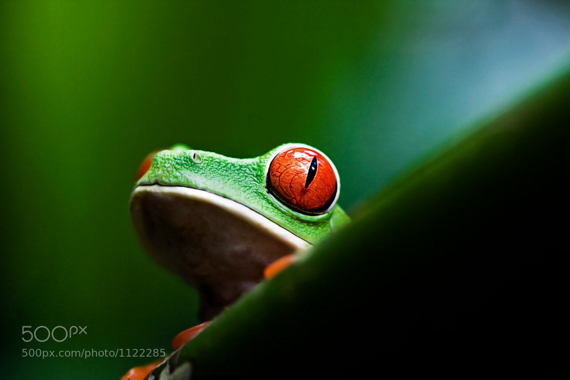 Photograph Gaudy Leaf Frog by Janik Lipke on 500px