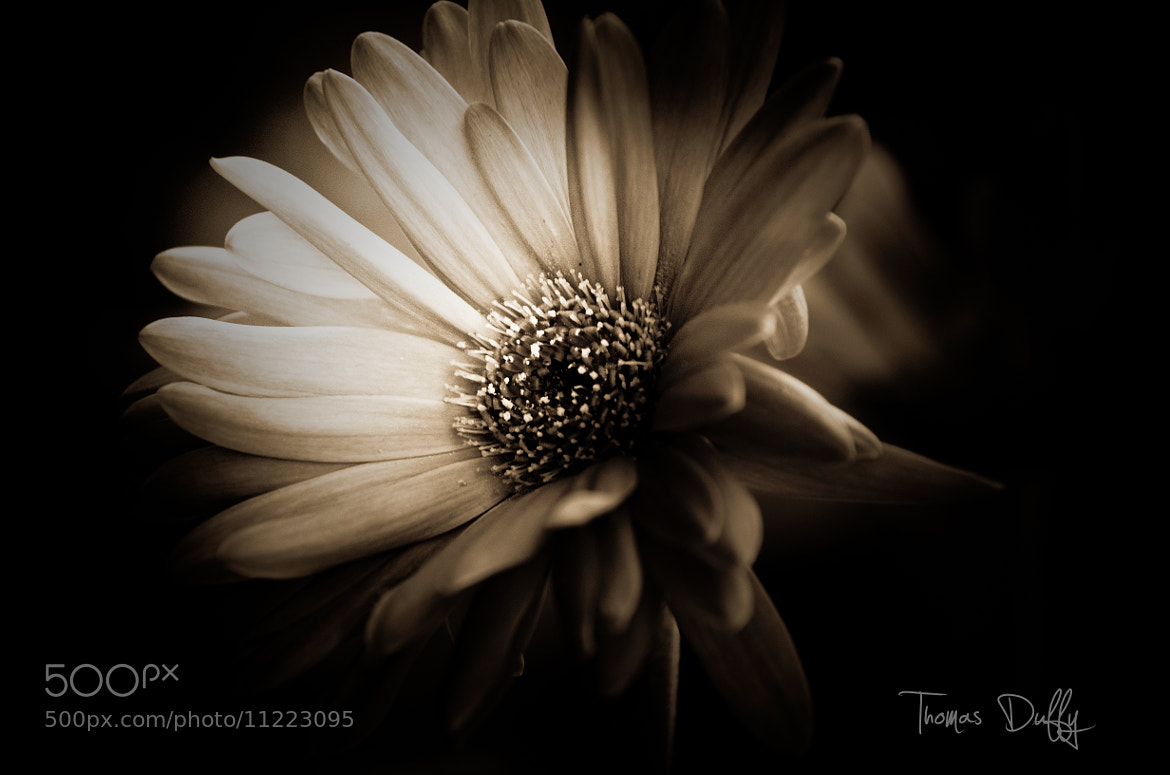 Photograph Gerber Daisy  by Thomas Duffy on 500px