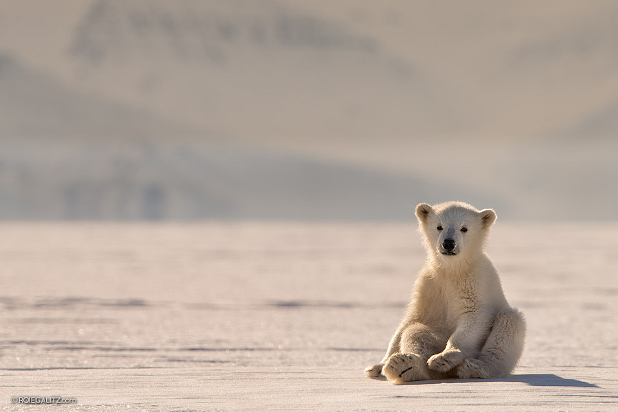 Polar Bear Baby by Roie Galitz on 500px.com