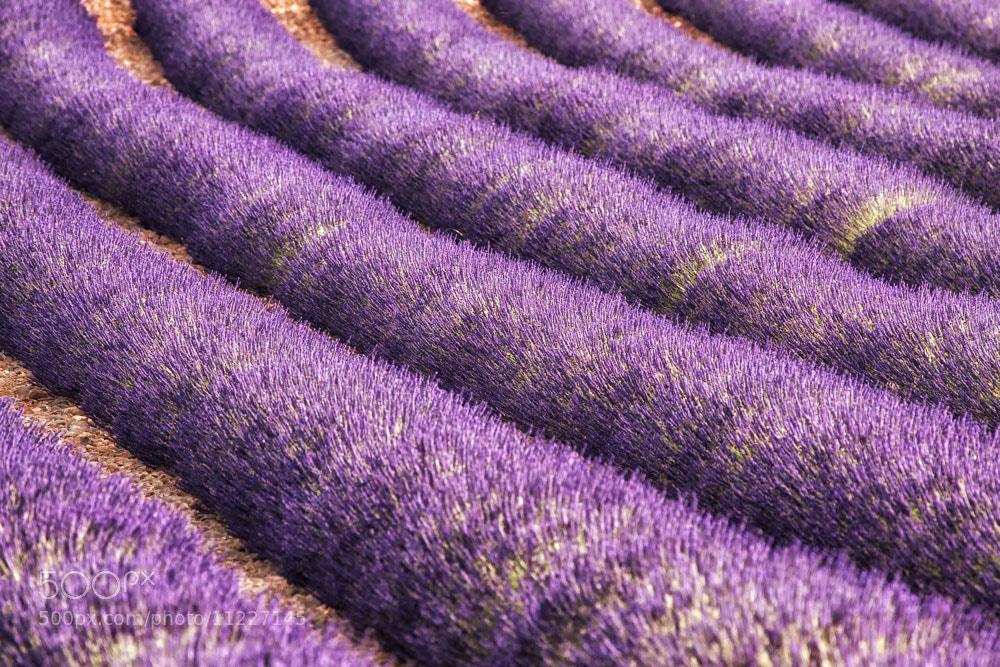 Photograph Waves of lavender by Małgorzata Tymińska on 500px