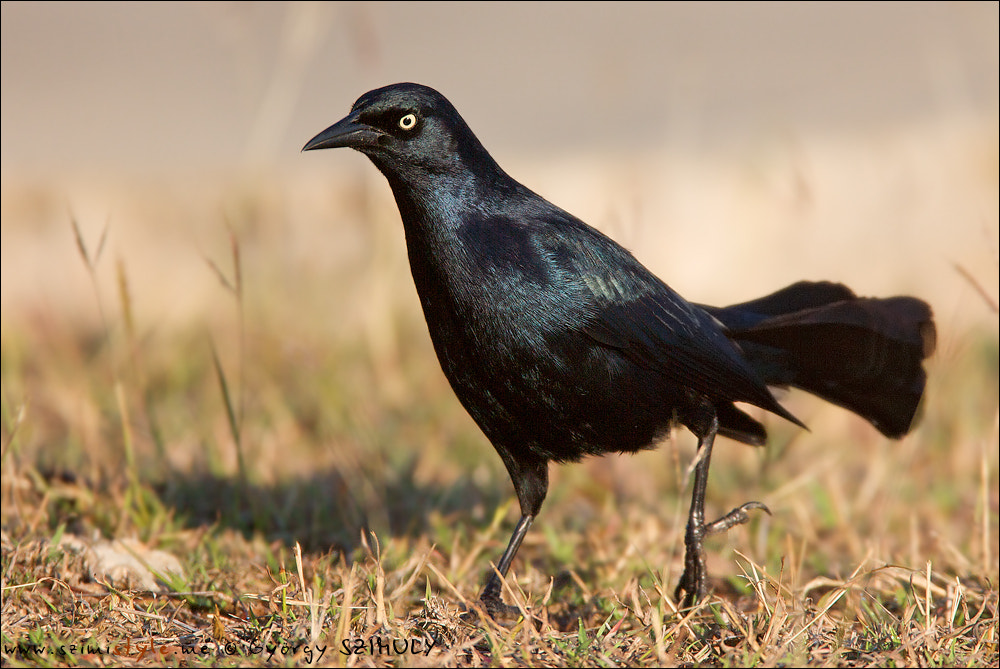 Photograph Greater Antillean Grackle (Quiscalus niger) by Gyorgy Szimuly on 500px