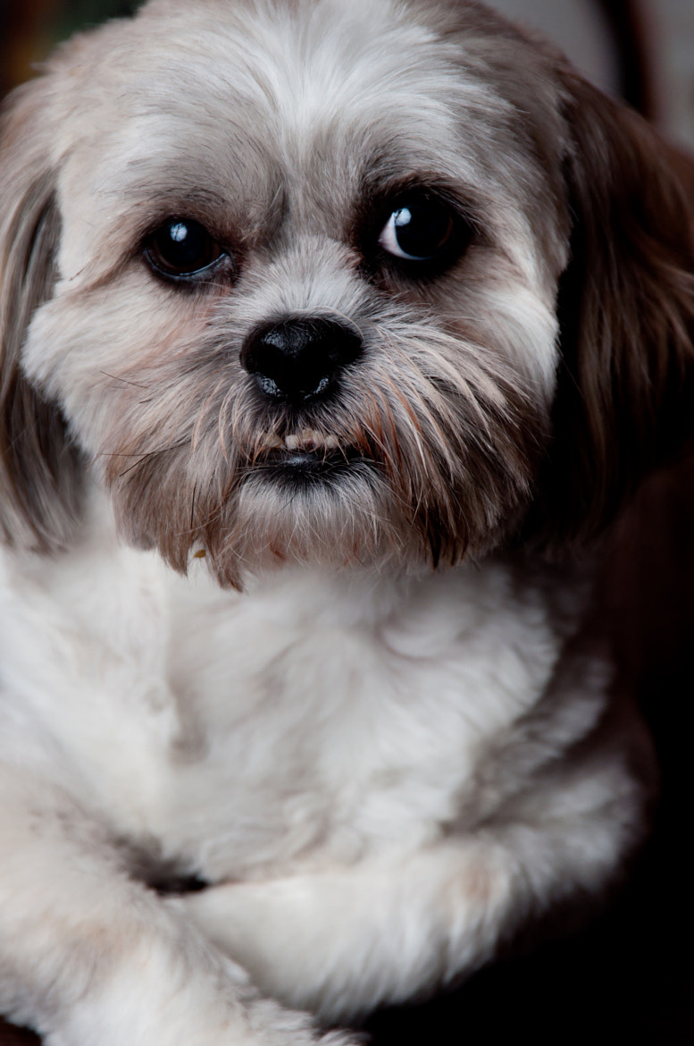 Photograph Brandy the Shih Tzu by Jason Cate on 500px