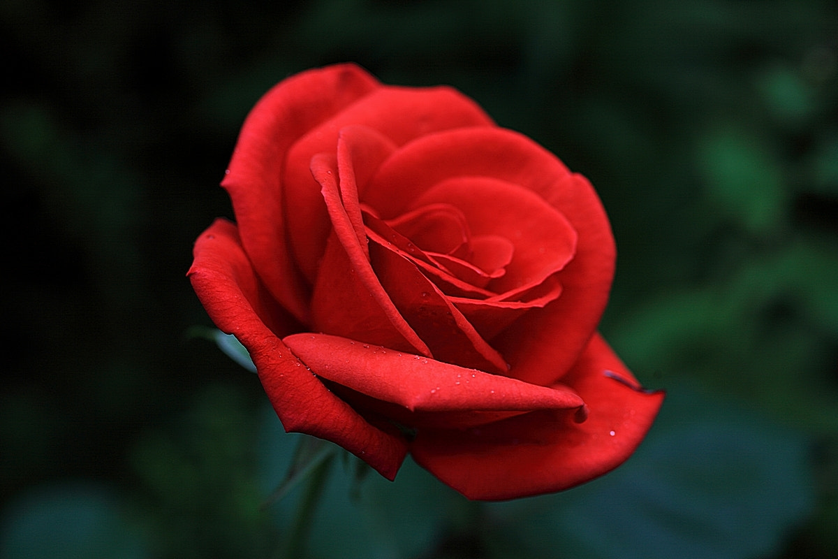 Photograph Red Rose  by Tom LeRoy on 500px