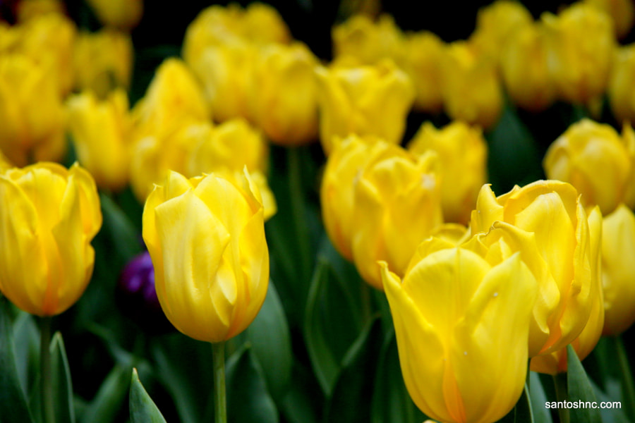 Yellow Tulips @ Gardens by the Bay