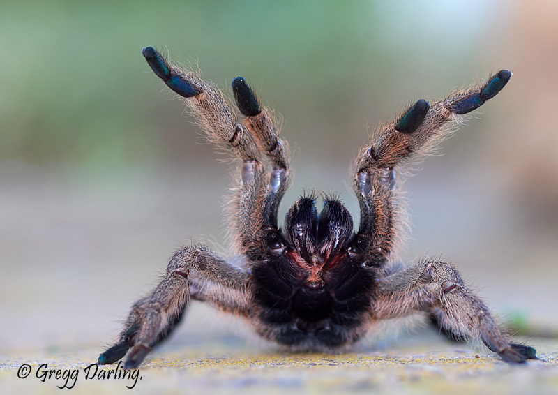 Photograph Baboon Spider in threat display. by Gregg Darling on 500px