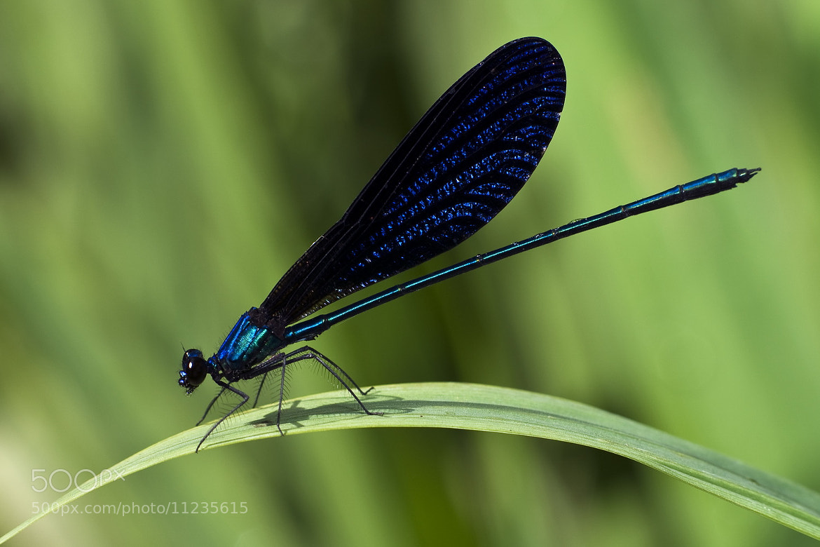 Photograph Damselfly - Blue by SIJANTO NATURE on 500px