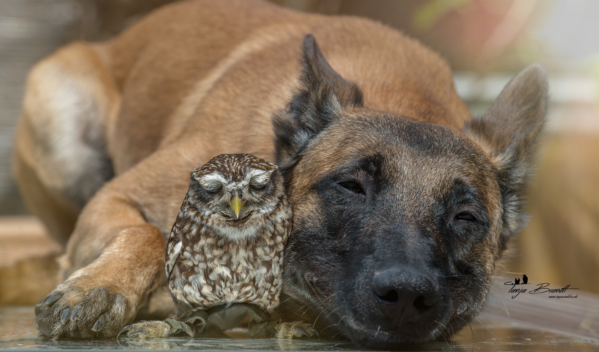 sweet dreams the owl and the dog content in a cottage. Black Bedroom Furniture Sets. Home Design Ideas