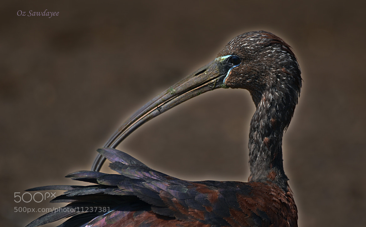 Photograph Glossy Ibis  / Plegadis falcinellus by Oz Sawdayee on 500px