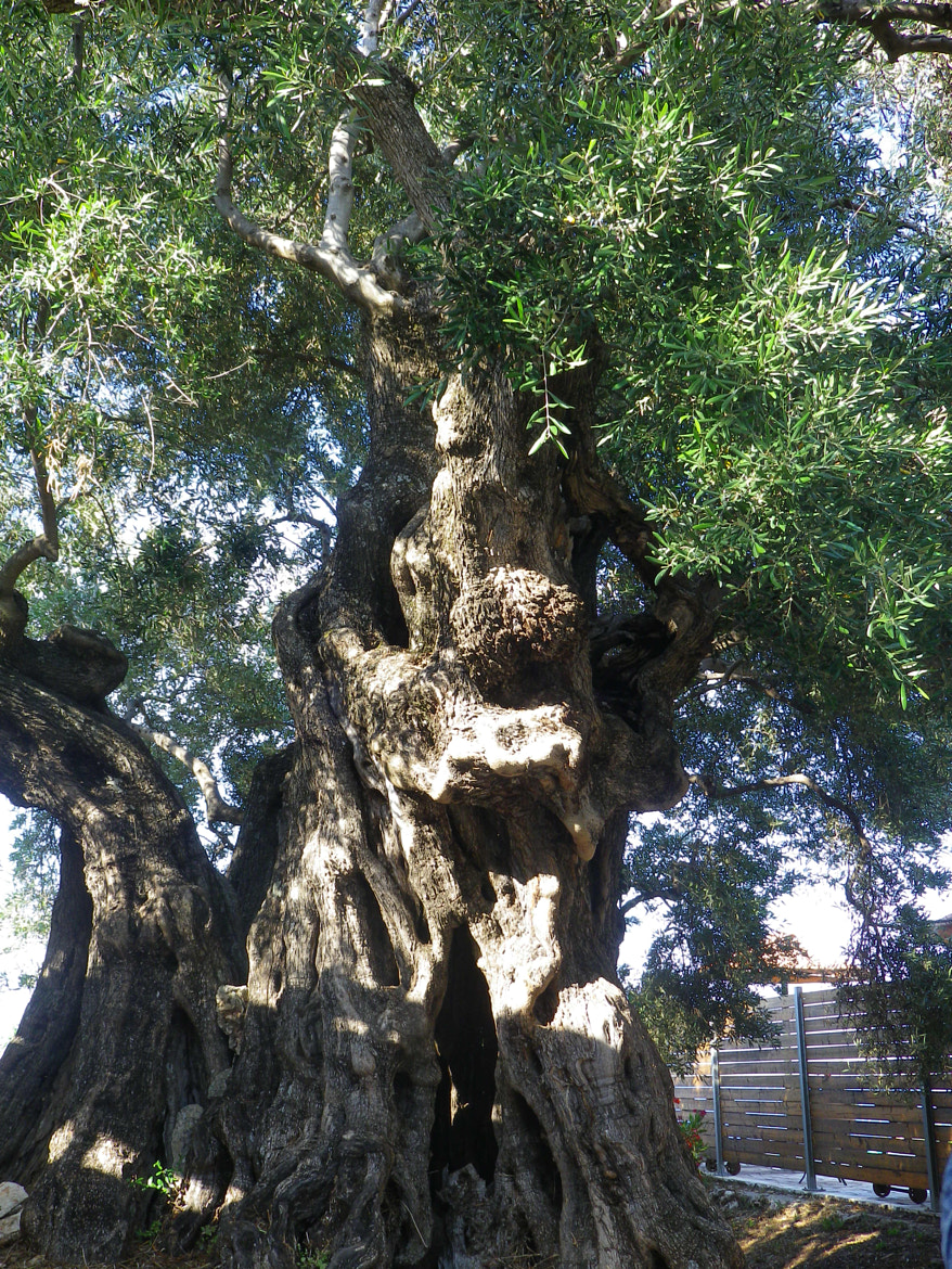 Photograph Old Olive Tree by Emerald Villas on 500px