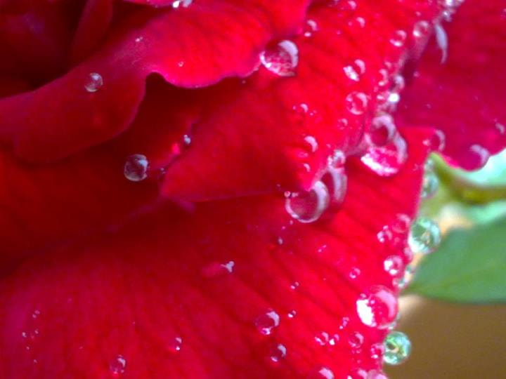 Photograph Raindrops on Rose by Megha Saxena on 500px