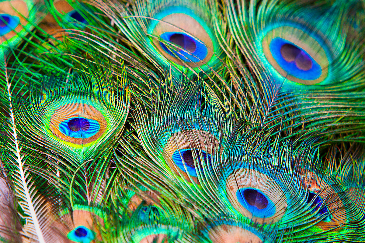 Photograph Peacock by Fredrik Backman on 500px