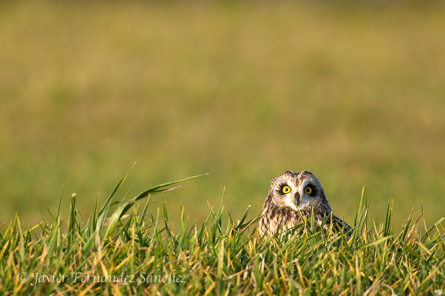Photograph The curious owl by Javier Fernández Sánchez on 500px