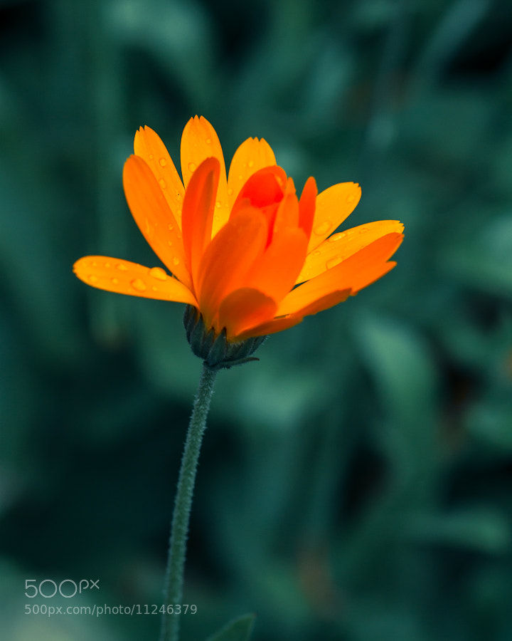 Orange Flower by Mike Griggs (creativebloke) on 500px.com