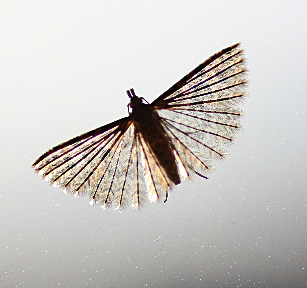 Photograph Tiny Backlit Moth by Chrissie Barrow on 500px