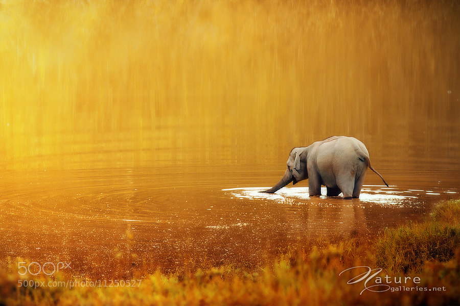 Photograph Thai elephant  by Sasi - smit on 500px