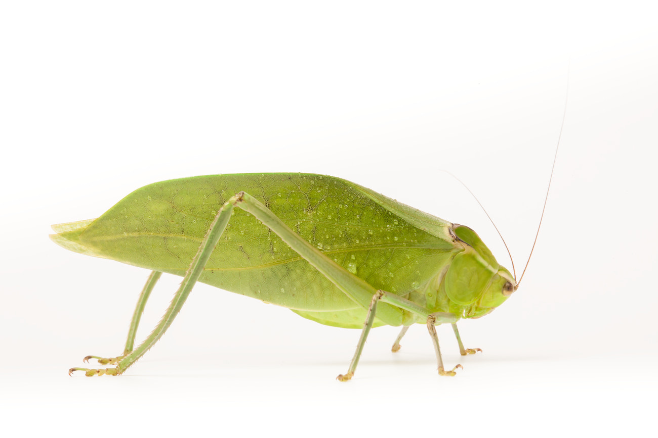 Photograph Katydid by Wild  Arena on 500px