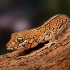 Madagascan Ground Gecko by David Southard (Wildarena)) on 500px.com