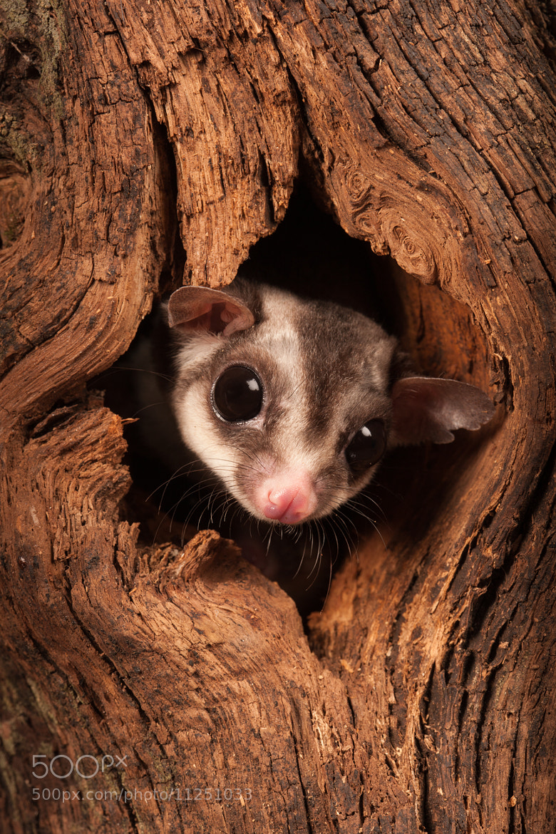Photograph Sugar Glider by David Southard on 500px