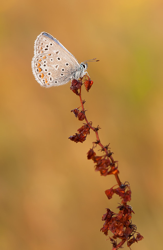 Photograph Common blue by Tom  Kruissink on 500px