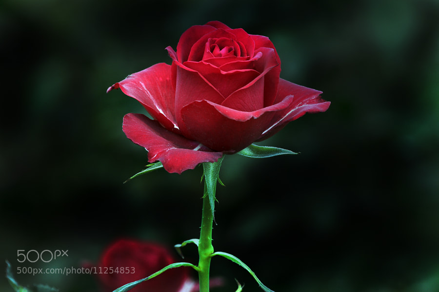 Photograph Great Red Rose by Cristobal Garciaferro Rubio on 500px