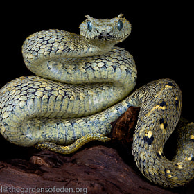 Usamba Bush Viper (Atheris cerataphora) by Michael Kern (thegardensofeden)) on 500px.com