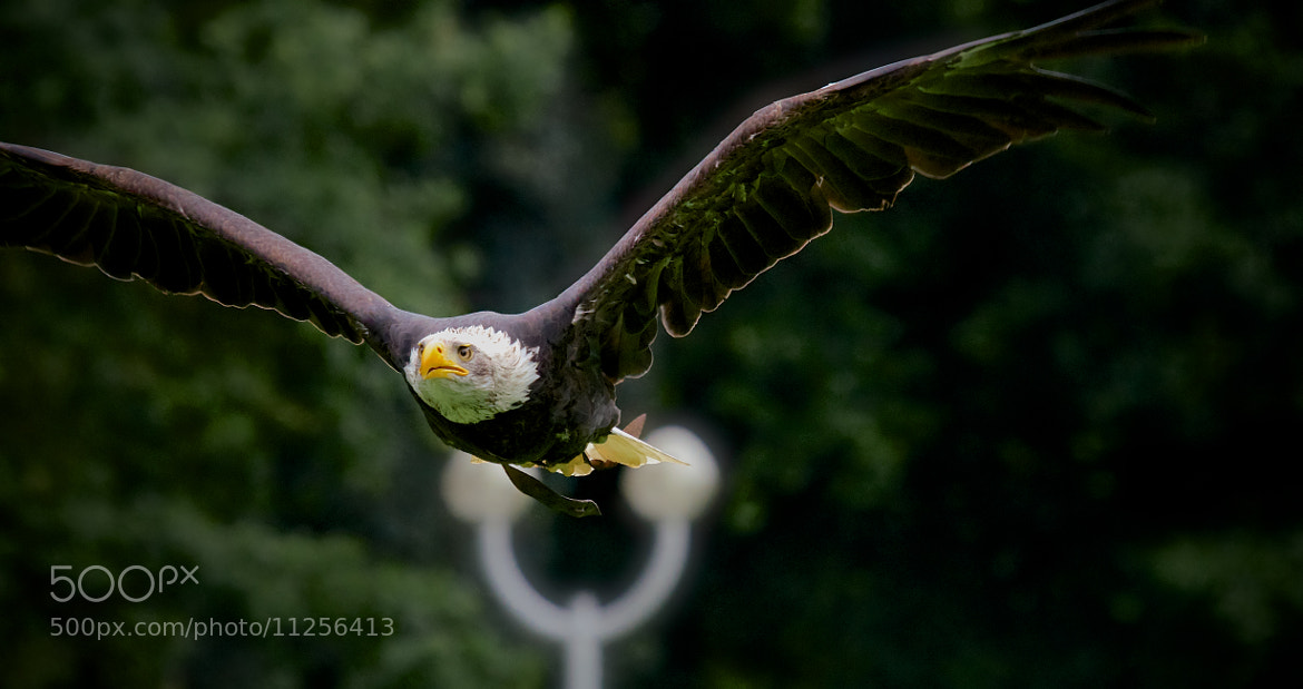 Photograph Bald Eagle by Mutas Sibai on 500px