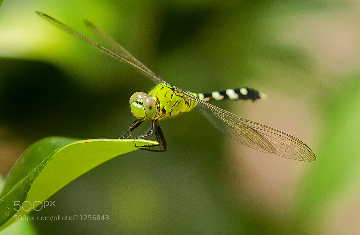 Photograph Dragonfly by Edwin Madera on 500px