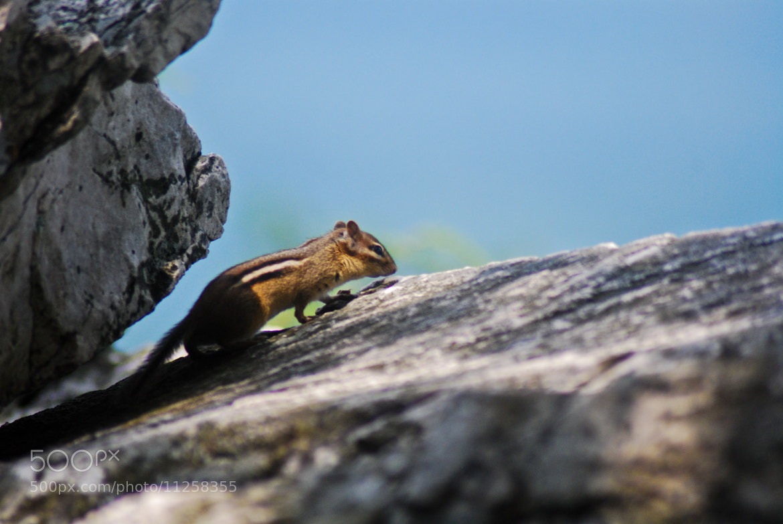 Photograph Chipmunk by Dan Hauk on 500px