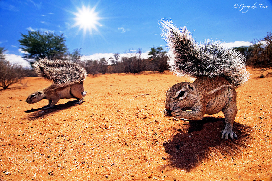 Photograph Kalahari Squirrels by greg du toit on 500px
